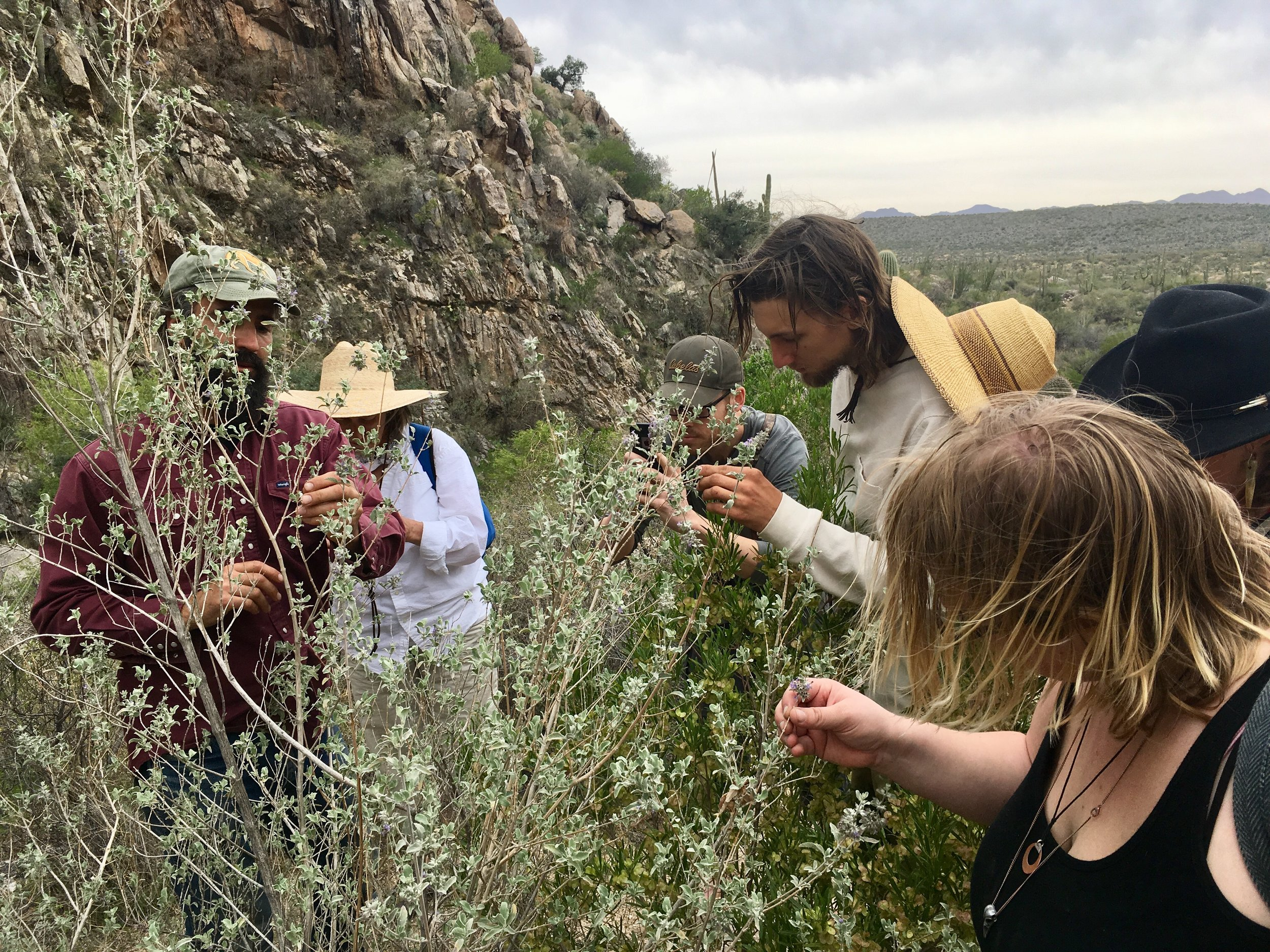 discovering the unique traits of desert lavender (Hyptis emoryi) in a field study