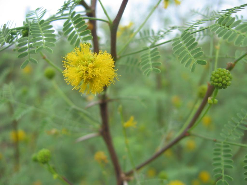 Whitethorn Acacia in flower