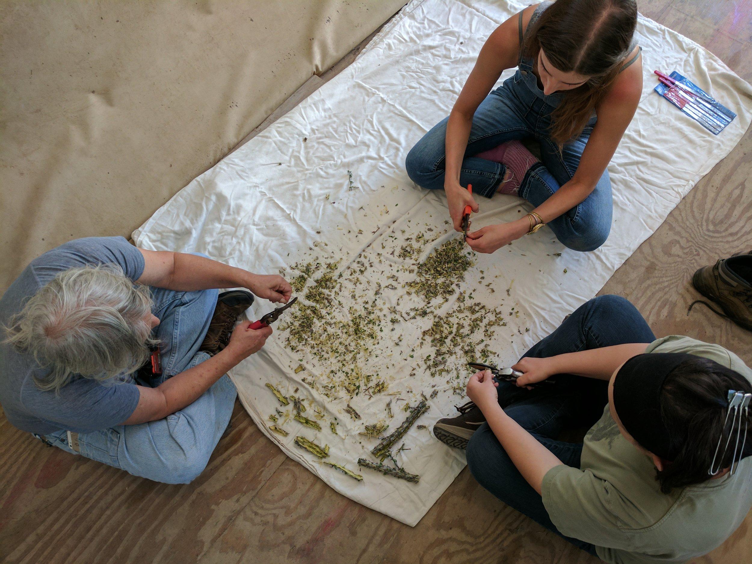 Processing Ocotillo bark for tincture