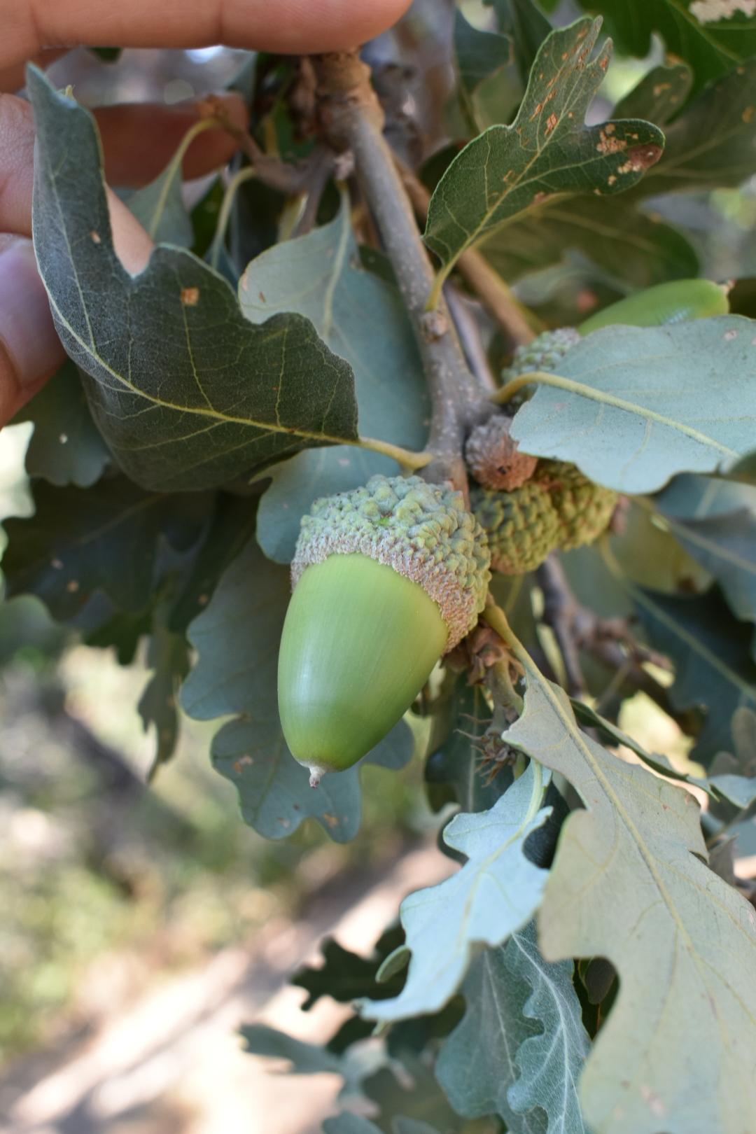 unripe valley oak acorn (Quercus lobata)