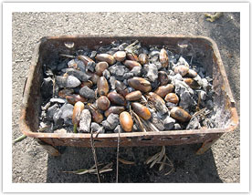 Acorns of  Q .  Itaburensis  are prepared like chestnuts. Photo credit:  http://gby.huji.ac.il/centers/botan/botan_project_edible.html  Accessed 7/18/2019