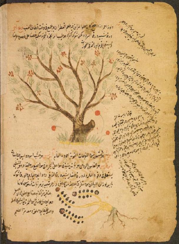 15th Century Arabic Botanical Illustration