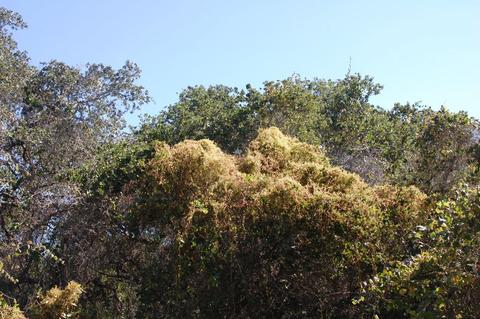 Dodder (Cuscuta species) growing over shrubs in the Guatemala Highlands.