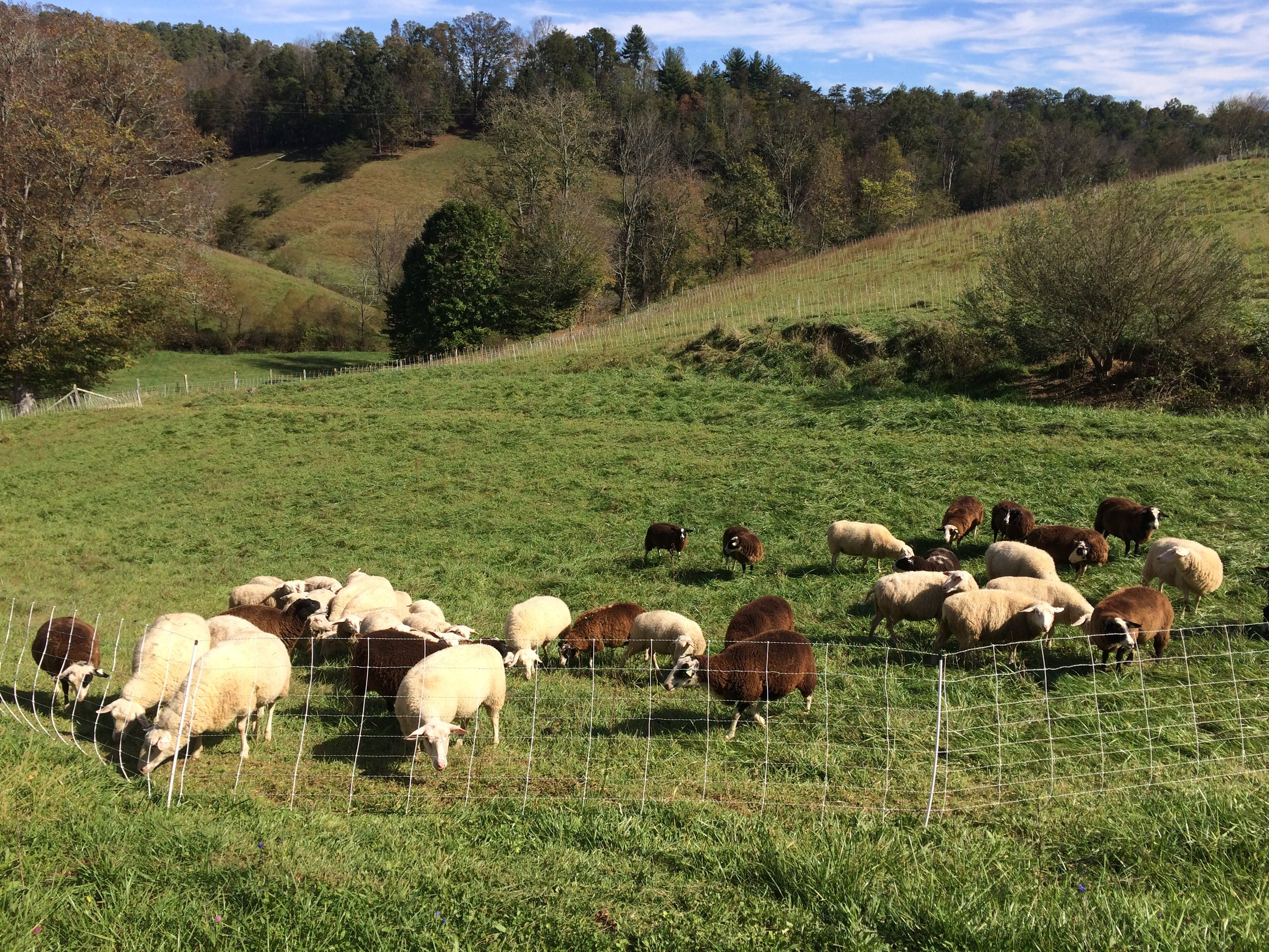 ewes on hill.JPG
