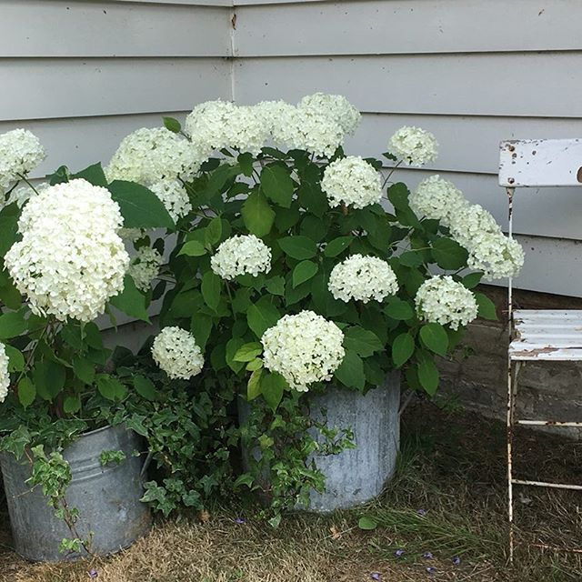 Bought these beauties last year from the village fete. #patience #white hydrangea#photolocation#whiteweatherboard #vintagegarden