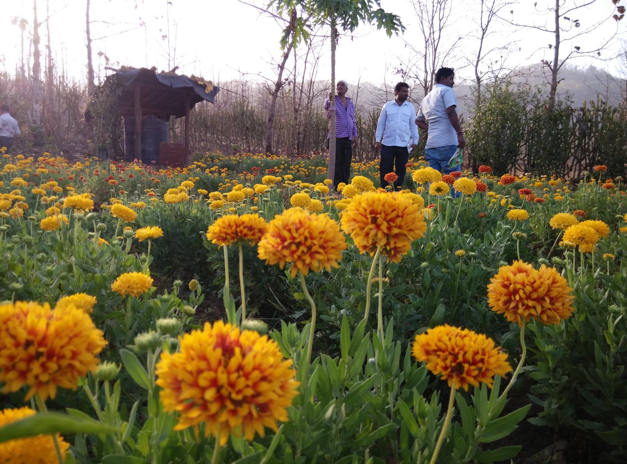 Field of Marigolds from the ADIV Pure Nature organic farm.