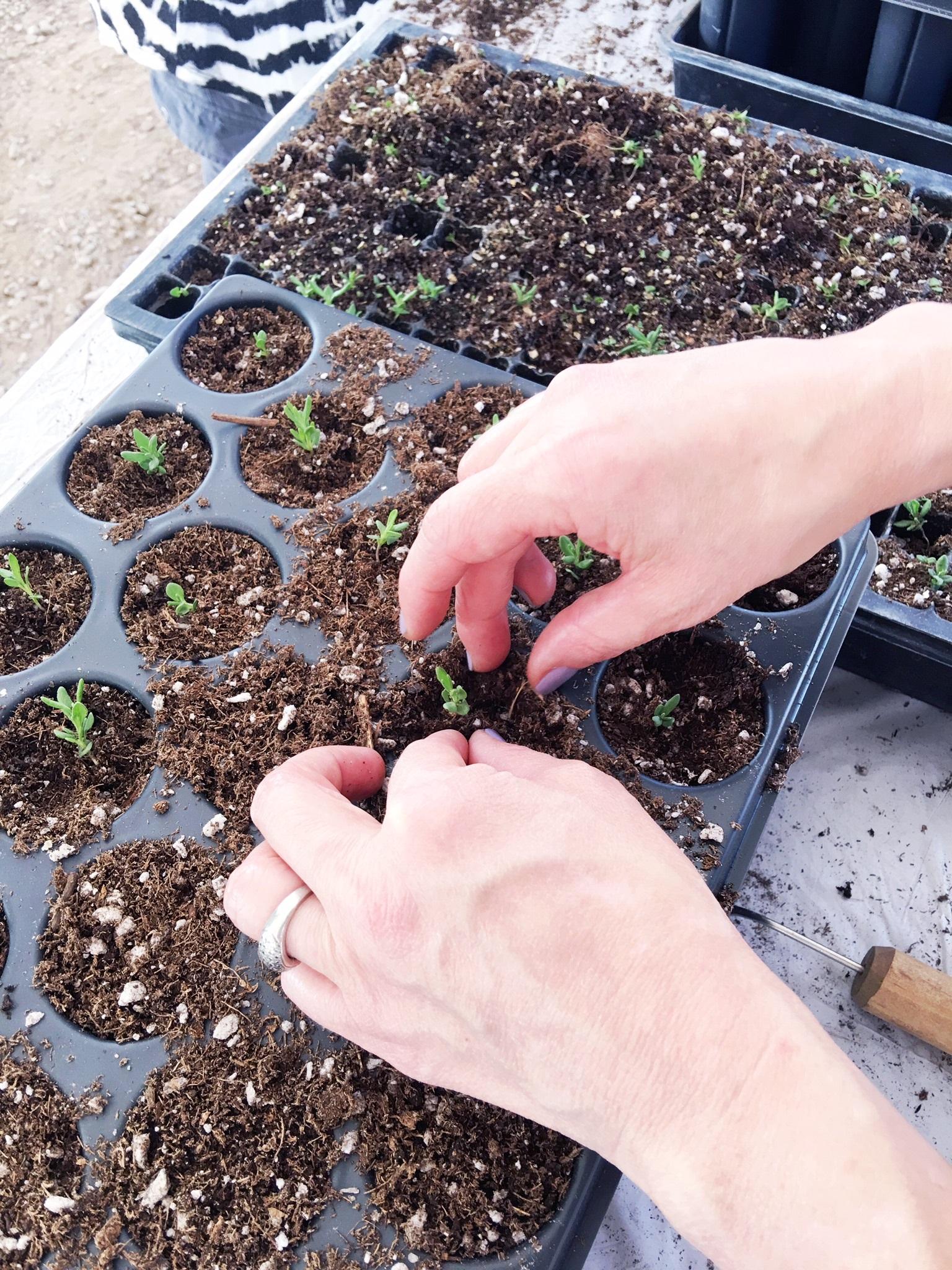 lavender seedlings2.jpg