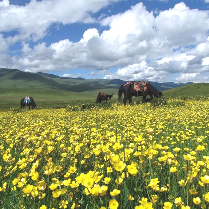 THE HERBAL MEDICINE OF THE TIBETAN PLATEAU - MAY 20, 2014