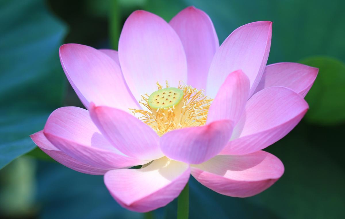 1200-6965-lotus-flower-photo1.jpg
