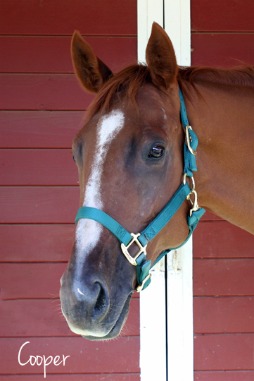 Cooper is the newest member of our herd. At seven years of age he is also the youngest. Cooper is a very kind and loving Thoroughbred gelding who we recently acquired as his previous owner could no longer afford to care for him. We are very excited to welcome him into our herd!