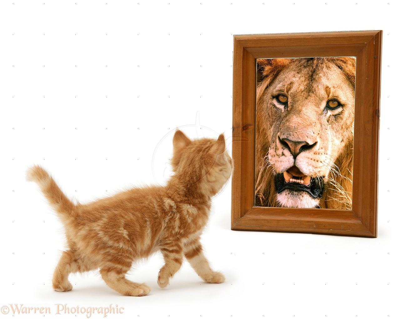An orange kitten looking into a mirror and seeing a lion.