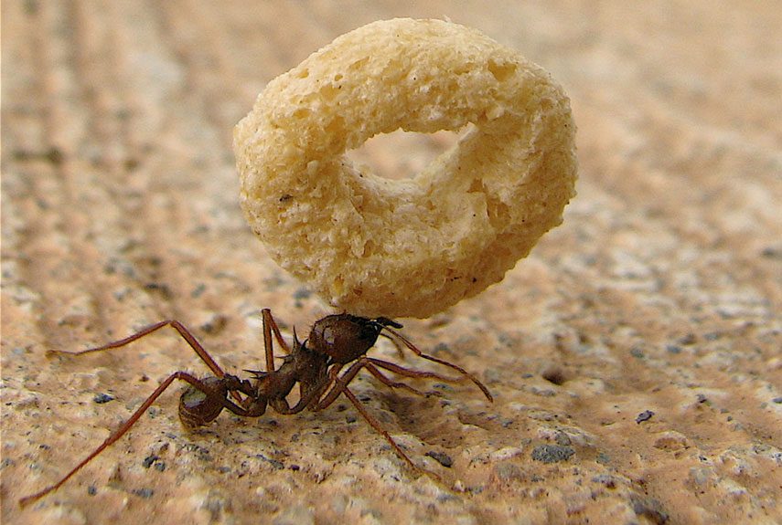 Ant carrying cheerio. Image credit: Michael McCann/Getty Images