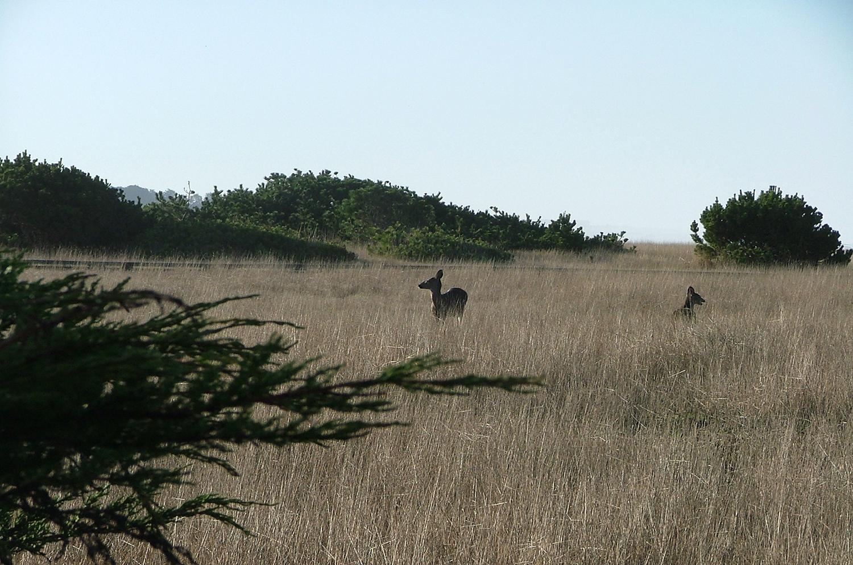 Deer+on+Headlands.jpg