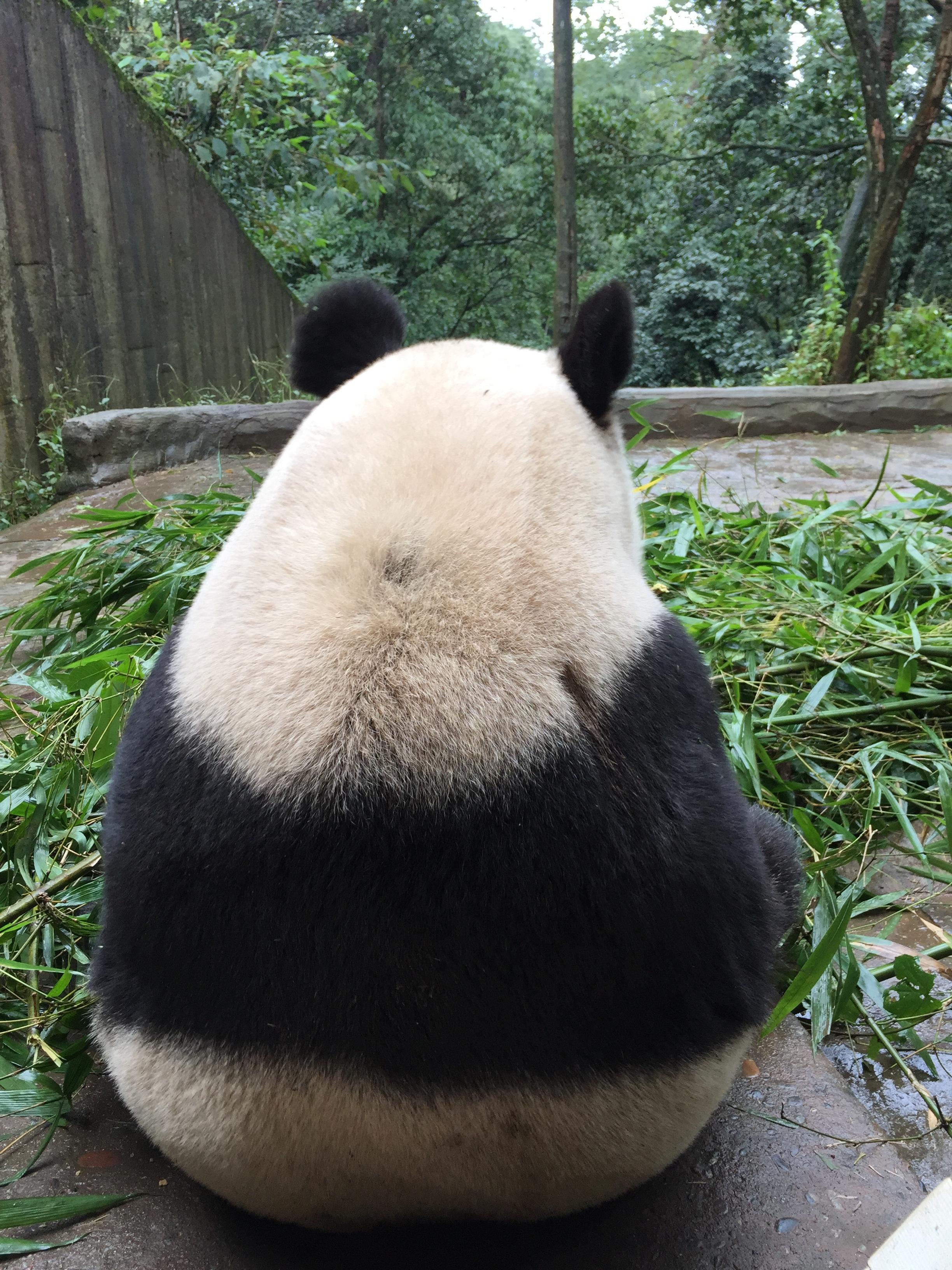 Jin Ke eating the fresh bamboo