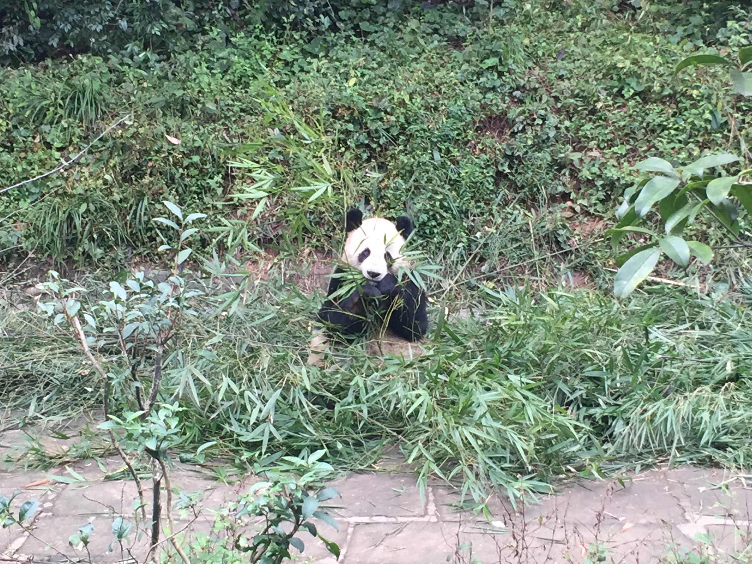 Another Panda on the way back