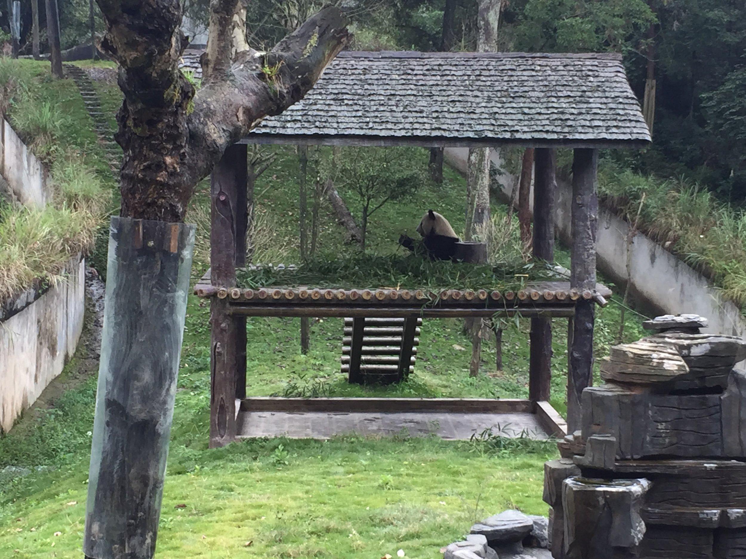 Panda eating in his hut