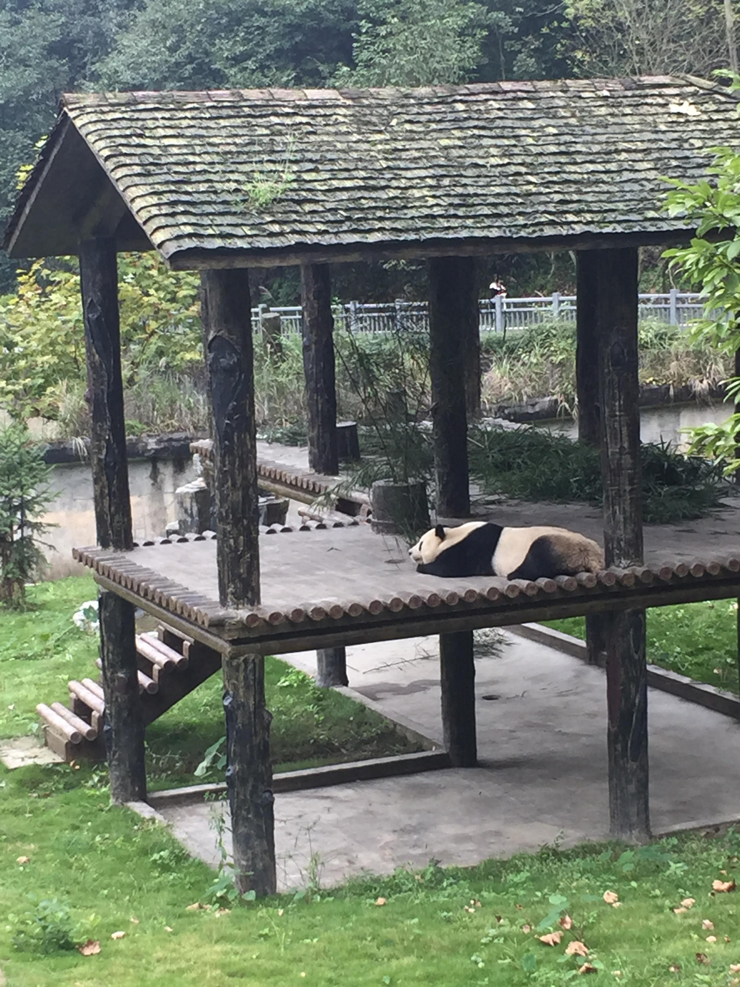 Panda sleeping in his hut