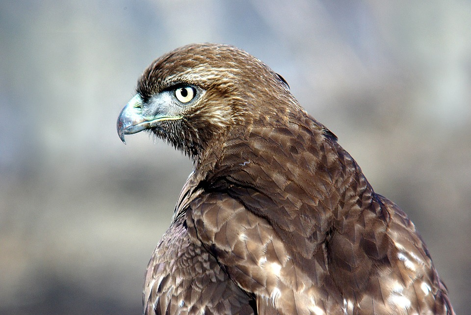About - The Birds of Prey NCA Partnership (BOPP) is an Idaho 501c3 non-profit organization, established in 2015 after in-depth stakeholder input and extensive feedback from both state and district BLM staff. We have garnered amazing support from the community and aim to build on this support as the organization grows.