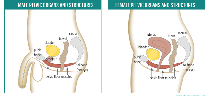 Male and female pelvic organs & structures