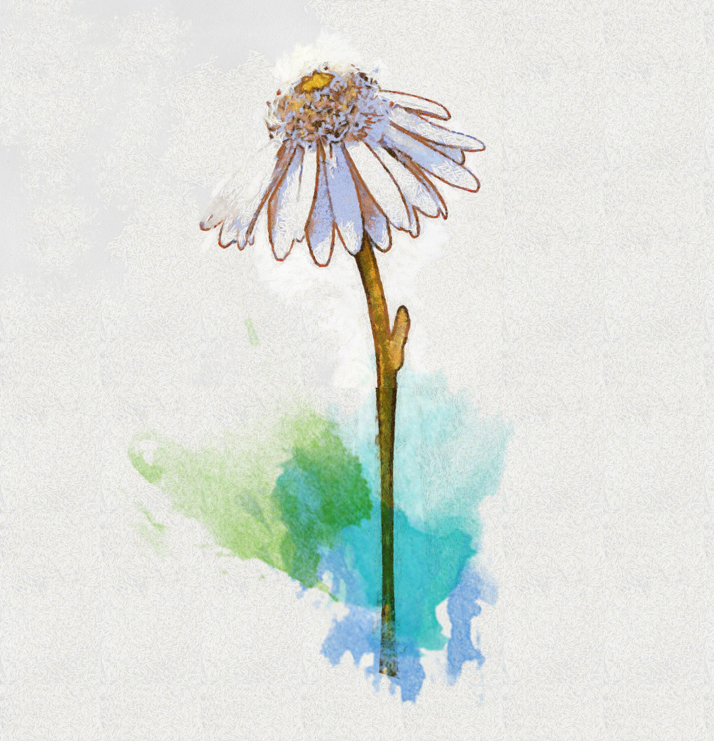 daisy-flower-white-background-1d380746073Nsv_Stroke20985_Benson.jpg