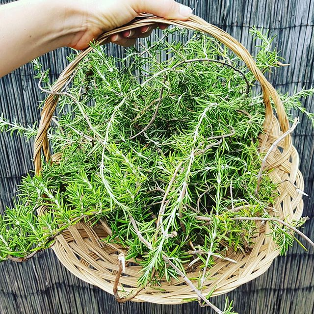 Harvest time.... Fresh rosemary from our herb garden 🌱