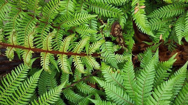 Fun Fact; Ferns have been on the earth 360 million years 🌿 also, we take all our own pics ! This particular photo is from Rachs parents garden 🍃#photographers #parkranger #funfernfacts #getoutside #newzealand