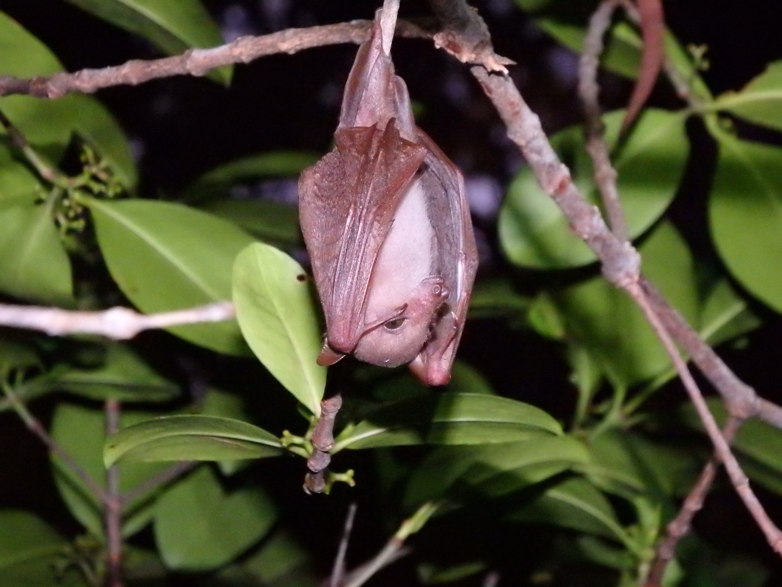 Long-tongued nectar bat Macroglossus minimus. Diverse Ecology