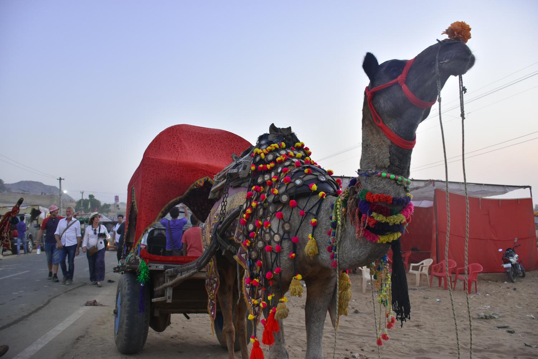 A camel taxi. Credit: Angie Davis
