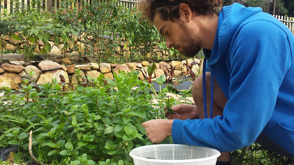 Ohad (Israel) picking up mint leaves for all the volunteers