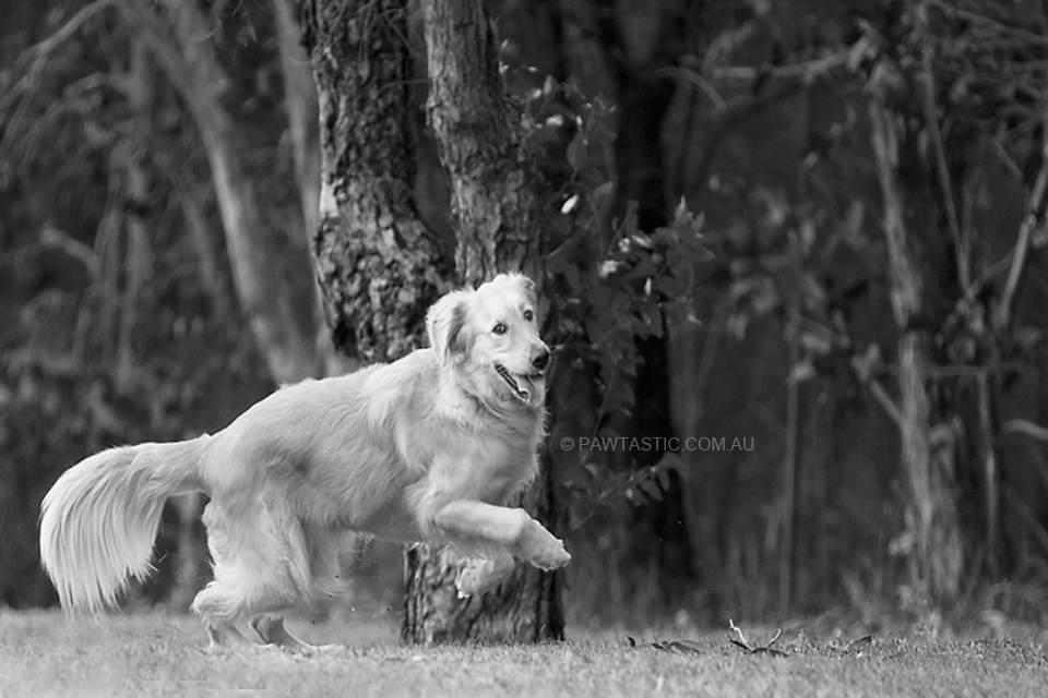 Black and white professional pet photography of a golden retriever running in a park