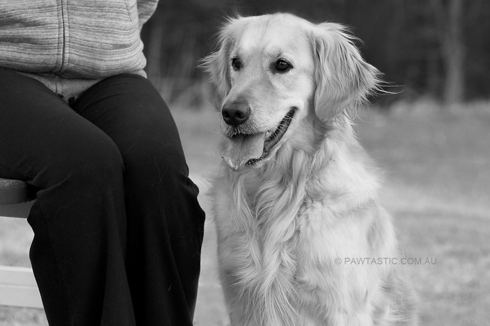 Black and white professional pet photography of golden retriever sitting next to her owner