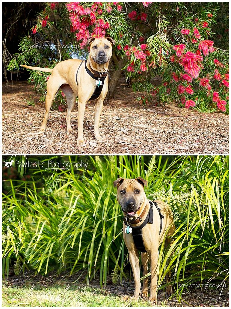 Sydney Park by Pawtastic Photography - Sydney Pet Photographer, dog photography of a shari pei mix