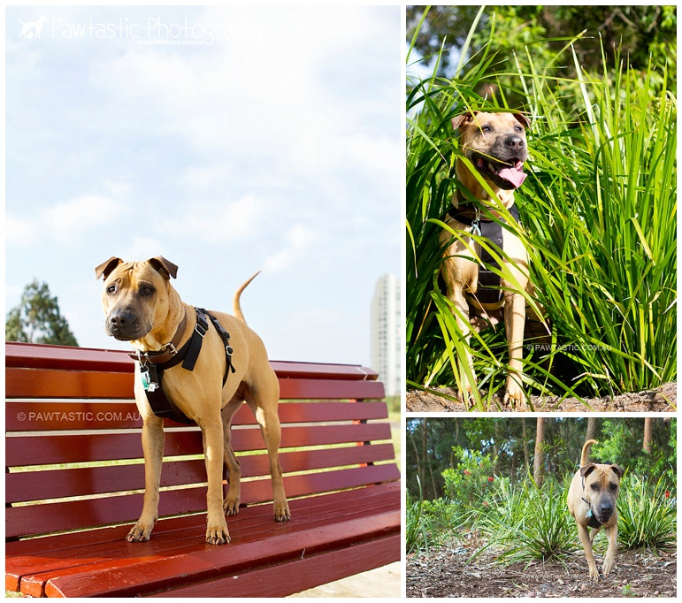 shar pei dog photography in Sydney Park by Pawtastic Photography - Sydney Pet Photographer