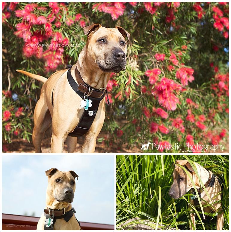 Female shar pei mix dog photography in Sydney Park by Pawtastic Photography - Sydney Pet Photographer