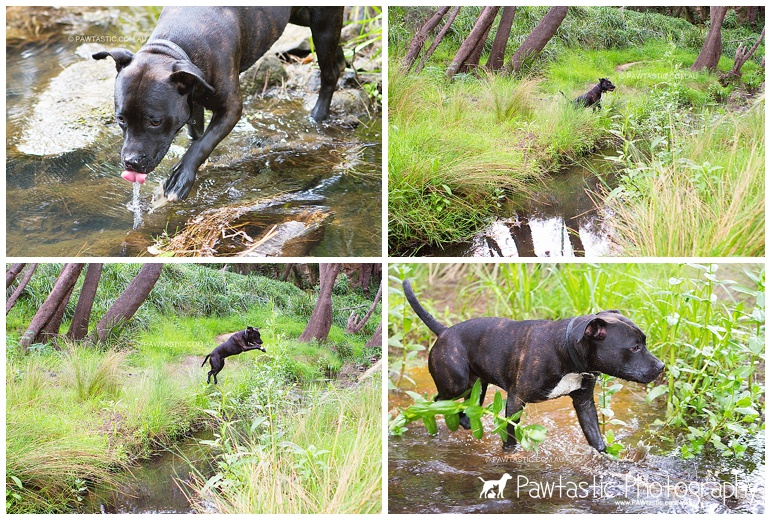 staffordshire bull terrier staffy puppy jumping over creek bed sydney pet dog photographer