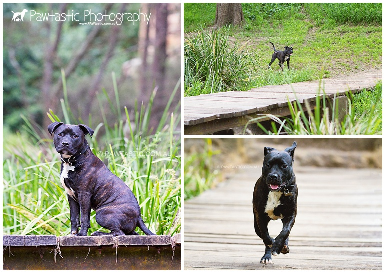 staffordshire bull terrier staffy puppy running in a park sydney pet dog photographer