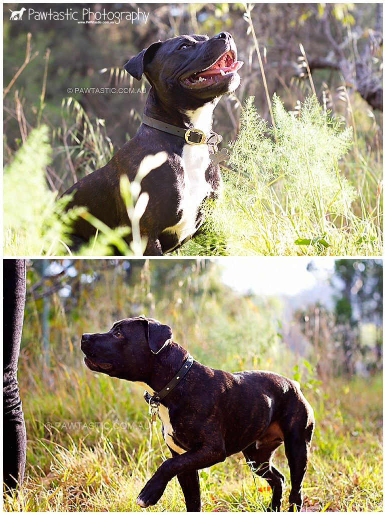 staffordshire bull terrier staffy puppy standing still in a park sydney pet dog photographer