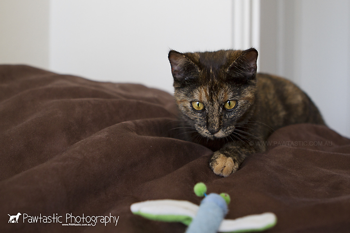 brown tawny cat sitting on bean bag with toy