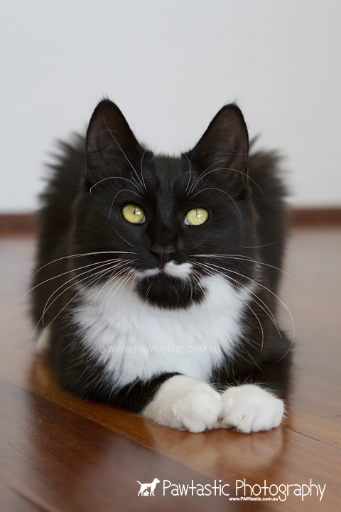 black and white moustached cat
