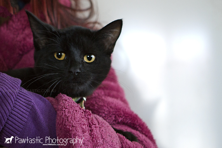 shy  black cat huddles in owners arms