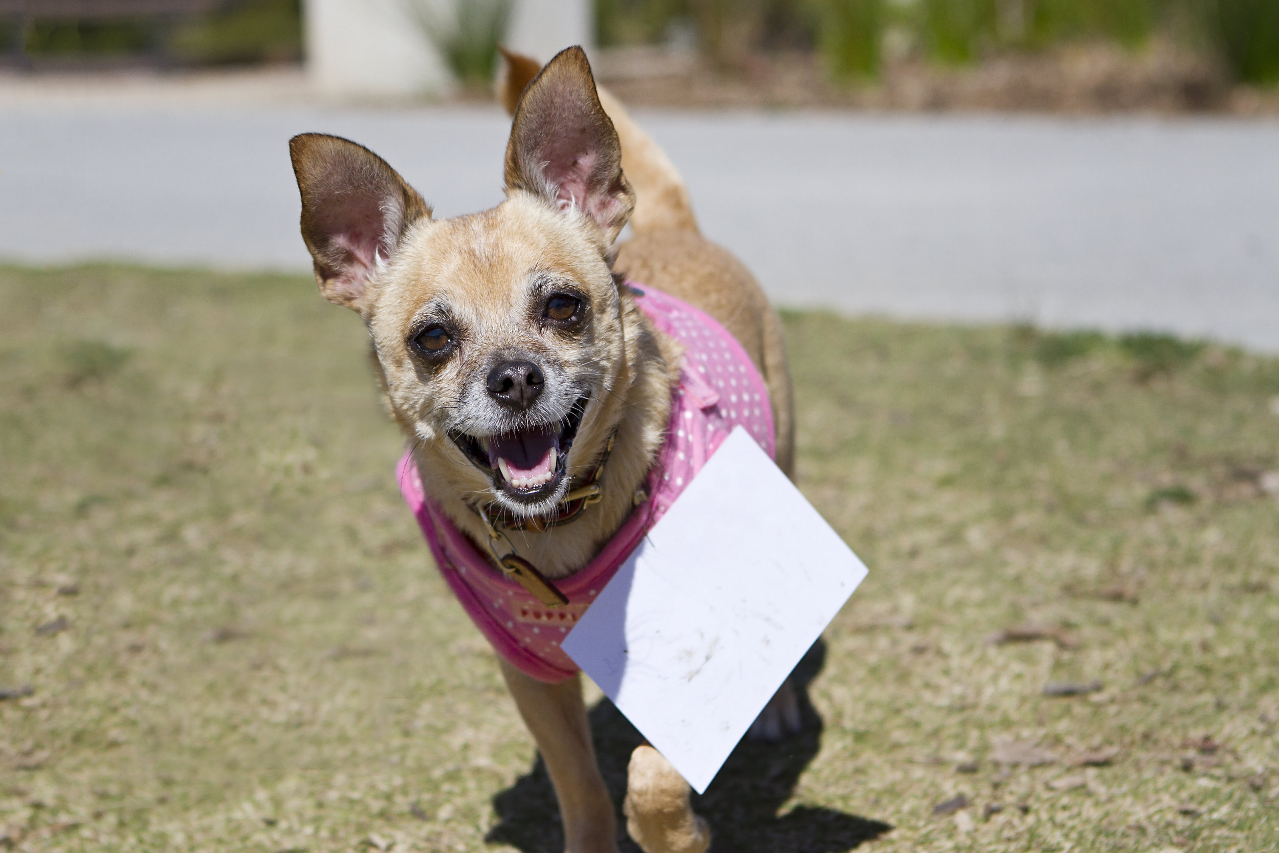 Happy dog grins in Sydney Park