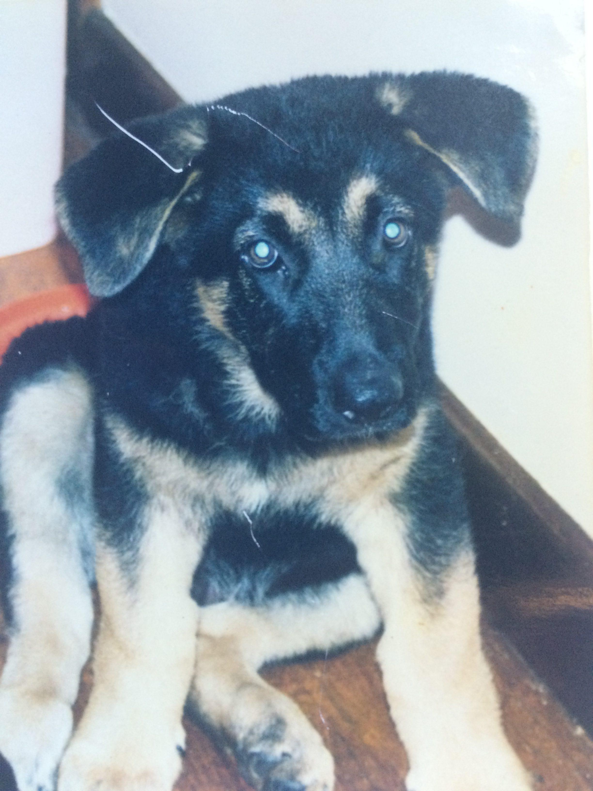 german-shepherd-puppy-my-biggest-regret-pet-photographer