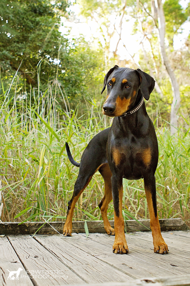 Doberman dog standing on wooden boardwalk with reeds in the background   Sydney Pet Photographer