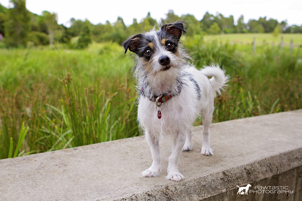 Little white dog standing on wall in Sydney Park | Sydney Pet Photography