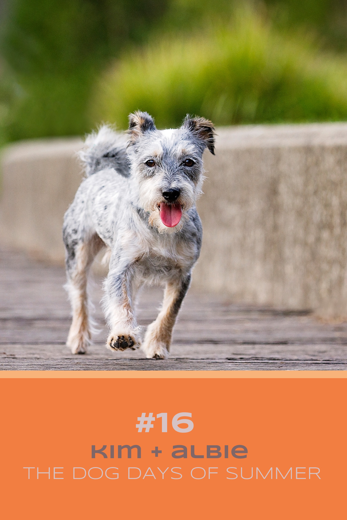 Schnauzer cross terrier dog runs across boardwalk during his Dog Days of Summer photo session with Sydney photographer, Pawtastic Photography