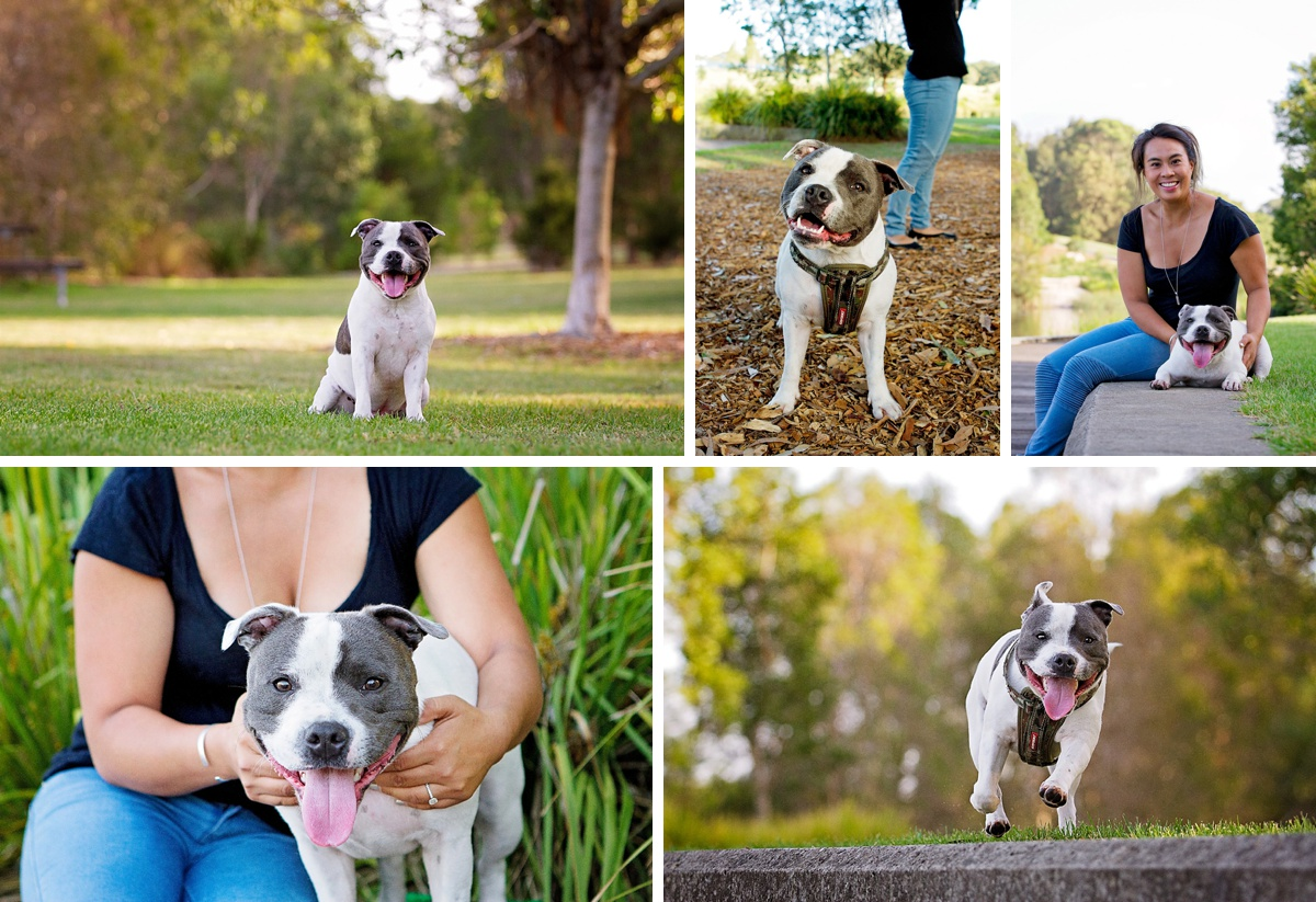 Staffy dog plays in the park during their photo session with Pawtastic Photography, a Sydney based pet photographer