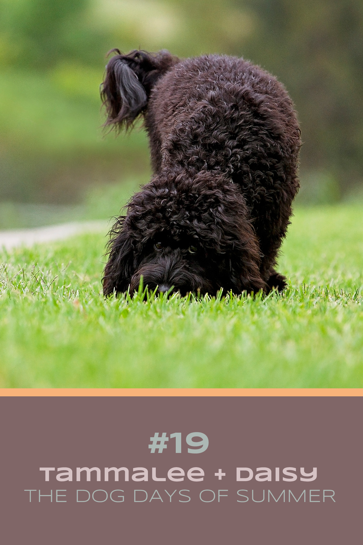 Black cavoodle puppy sniffs the green grass during their Dog Days of Summer photo session with Sydney based pet photographer, Pawtastic Photography.