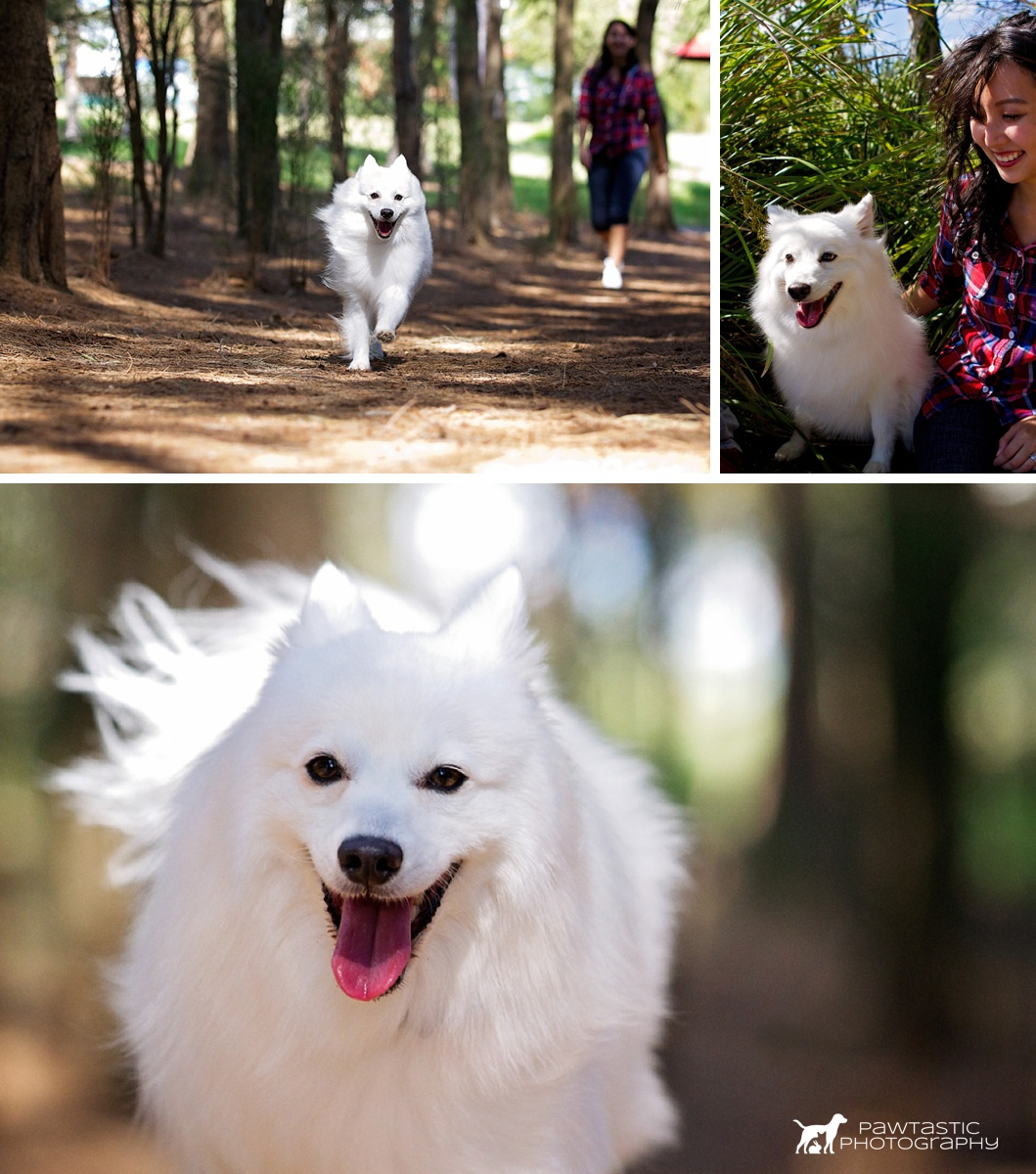 Japanese spitz dog running and smiling at the camera, along with her owner as they take part in the Dog Days of Summer professional pet photography session with Pawtastic Photography
