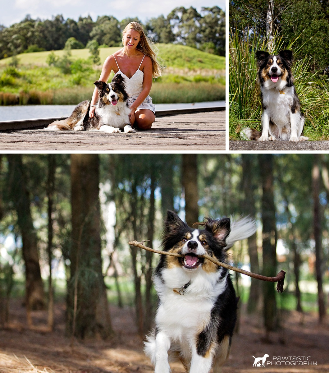 Tri-coloured Border Colours runs with a stick in his mouth, cosies up to his mum and smiles for the camera during his Dog Days of Summer photoshoot in Sydney Park with Pawtastic Photography.