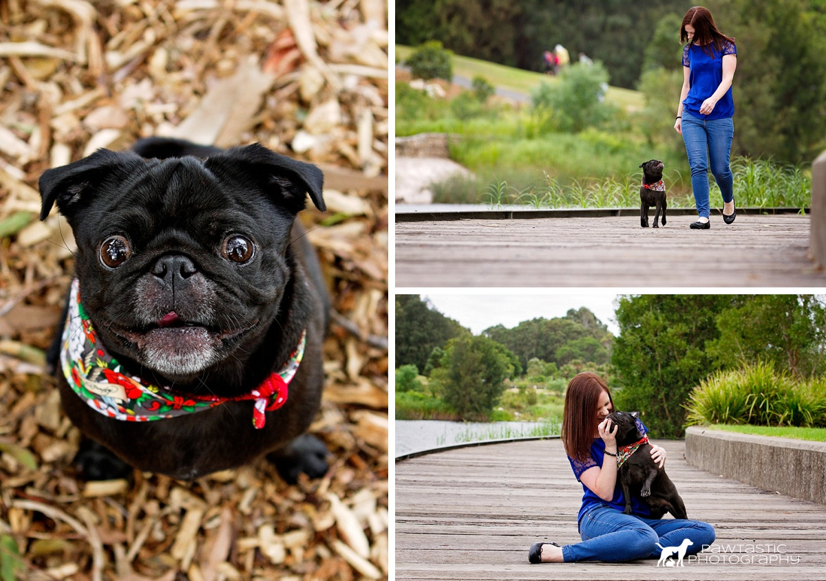 Black pug, Dante, walks along the boardwalk at Sydney Park, jumps into his humans lap in an effort to get food and grins into the camera during his professional pet photos with Pawtastic Photography.